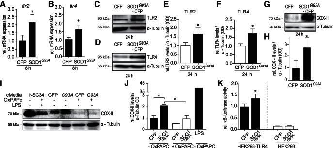 TLR2 and TLR4 expression is increased in response to SOD1 G93A overexpression. BV-2 cells were transiently transfected with CFP or SOD1 G93A -CFP plasmids and harvested at 8 or 24 h post-transfection. A , tlr2 mRNA expression in transfected BV-2 cells was measured at 8 h post-transfection by qPCR analysis, relative to control gene gapdh ( n = 8–10 wells pooled from 3 separate experiments; Kruskal–Wallis, Dunn's multiple-comparison post hoc test). B , tlr4 mRNA was analyzed by qPCR analysis of BV-2 lysates 8 h post-transfection with CFP or SOD1 G93A -CFP ( n = 8–9 wells pooled from 2 separate experiments). Samples were normalized to internal control gapdh. C , E , TLR2 protein levels in CFP or SOD1 G93A -CFP-transfected BV-2 cells analyzed by Western blot. BV-2 cells were lysed in RIPA buffer 24 h post-transfection via nucleofection (normalized to α-Tubulin OD, n = 6 wells pooled from 4 separate experiments; p = 0.031, two-tailed paired t test). D , F , TLR4 protein levels in CFP or SOD1 G93A -CFP-transfected BV-2 cells analyzed by Western blot. BV-2 cells were lysed in RIPA buffer 24 h post-transfection via nucleofection (normalized to α-Tubulin OD n = 6 wells pooled from 4 separate experiments; p = 0.031, two-tailed paired t test). G , H , COX-II levels were assessed in SOD1 G93A overexpressing BV-2 cells ( n = 3 cultures from 2 separate platings; p = 0.016, two-tailed paired t test). BV-2 cells were transfected with CFP or SOD1 G93A -CFP via electroporation and lysed in RIPA buffer 24 h post-transfection and prepared for Western blot analysis. I , J , COX-II levels in TLR2- and TLR4 -inhibited BV-2 cells following stimulation with CFP or SOD1 G93A cMedia. BV-2 cells were treated with OxPAPC (30 µg/ml) simultaneous to cMedia treatment. Cells were lysed 24 h post-cMedia stimulation and prepared for Western blot analysis ( n = 3 wells, p = 0.002, one-way ANOVA, Tukey's multiple comparison post hoc test). K , NF-κB activity in TLR4-deficient HEK293 and HEK293-TLR4-sta