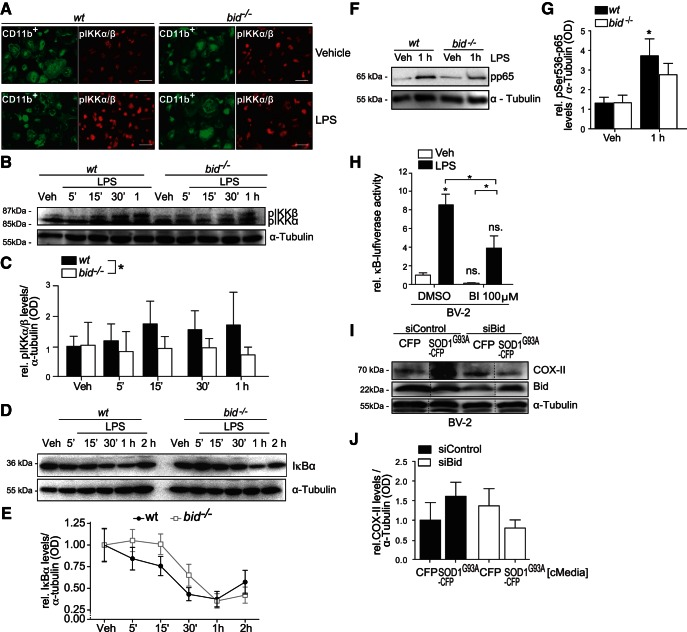 """Reduced phosphorylation of IKKα/β, p65 and delayed IκBα degradation and reduced NF-κB activation in bid −/− microglia. A , Primary wild-type and bid −/− microglia were stimulated with LPS for 5–30 min in serum-free media before being fixed in 3% paraformaldehyde and stained with anti-phosphorylated IKKα/β (pIKKα/β) and anti-CD11b. Immunohistochemistry analysis of anti-pIKKα/β mean fluorescence on CD11b-positive cells is depicted. Scale bar, 50 µ m . B , C , Primary wild-type and bid −/− microglia were treated with LPS for 5, 15, 30 min, or 1 h in serum-free media before being lysed for Western blot analysis of pIKKα/β protein levels ( n = 3 pooled from 3 separate experiments; p = 0.014, 3-way ANOVA, Tukey post hoc test). D , E , Wild-type and bid −/− microglia were stimulated with LPS for 5 min to 2 h in serum-free media, lysed in RIPA buffer and IκBα levels were analyzed by Western blot ( n = 3–4 wells from 3–4 separate experiments). F , G , Wild-type and bid −/− microglia were stimulated with LPS for 1 h before being lysed in RIPA buffer. pp65 levels were assessed by Western blot ( n = 7 wells pooled from 6 separate experiments; p = 0.0162, one-way ANOVA, Tukey's post hoc test). H , BV-2 cells were cotransfected with NF-κB-RE-luciferase and renilla-luciferase plasmids for 24 h and subsequently treated with LPS for 24 h. The cells were lysed in passive lysis buffer and NF-κB activation was quantified by dual luciferase assay (represented as relative κB-dependent firefly activity, n = 6–16 wells pooled from 2 separate experiments, 2 outliers removed, Grubbs test followed by Kruskal–Wallis and Dunn's multiple-comparison post hoc test). I , J , COX-II levels in Bid-depleted BV-2 cells stimulated with CFP or SOD1 G93A cMedia. BV-2 cells were transfected with an siRNA targeting Bid (""""siBid"""") or a scrambled control siRNA (""""siControl""""), and stimulated with cMedia 48 h post-siRNA transfection, when Bid levels were optimally reduced. Twenty-four hours post-cMedia treatment """