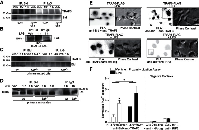 Bid associates with TRAF6 in microglia and astrocytes, as shown by coimmunoprecipitation and PLA. A , Coimmunoprecipitation of Bid and TRAF6 in BV-2 cells. BV-2 cells were stimulated with LPS (1 µg/ml) for 15 min or 1 h and Bid was immunoprecipitated. Negative controls included anti-Bid immunoprecipitation from bid- deficient mixed glia lysates, and IgG immunoprecipitation from all samples. Cells were lysed in RIPA buffer and analyzed for TRAF6 content after immunoprecipitation of Bid. B , Coimmunoprecipitation of Bid and TRAF6 in BV-2 cells overexpressing TRAF6-FLAG. BV-2 cells were stimulated with LPS (1 µg/ml) and lysed in RIPA buffer. FLAG was detected by Western blotting and represents TRAF6FLAG immunoprecipitated with Bid in BV-2 cells. An IgG immunoprecipitation was included as a negative control. C , Coimmunoprecipitation of Bid and TRAF6 in WT and bid- deficient primary mixed glia stimulated with LPS for 1 and 4 h (100 ng/ml). Samples were lysed post-LPS stimulation and Bid was immunoprecipitated from the lysates. The samples were analyzed for TRAF6 content by Western blotting. IgG immunoprecipitation was carried out as an additional negative control. D , Coimmunoprecipitation of Bid and TRAF6 in wild-type and bid −/− astrocytes. Purified astrocytes were stimulated with LPS (100 ng/ml) for 1 and 4 h, and lysed in RIPA buffer for Bid immunoprecipitation. The samples were analyzed for TRAF6 by Western blotting. E , Representative images of PLA and phase contrast in TRAF6-FLAG overexpressing BV-2 cells immunostained with anti-Bid and anti-TRAF6 ( n = 2 wells/condition, 4 fields of view per well). Negative control representative images of PLA in TRAF6-FLAG overexpressing BV-2 cells immunostained with anti-TRAF6 and anti-HA-tag ( n = 1 well/condition, 6 fields of view-LPS, 1 field of view + LPS), or immunostained with anti-Bid and anti-IRF2 ( n = 1 well/condition, 7 fields of view). Scale bar, 10 µm. F , Quantification of PLA interactions in BV-2 cells. BV-2 cel