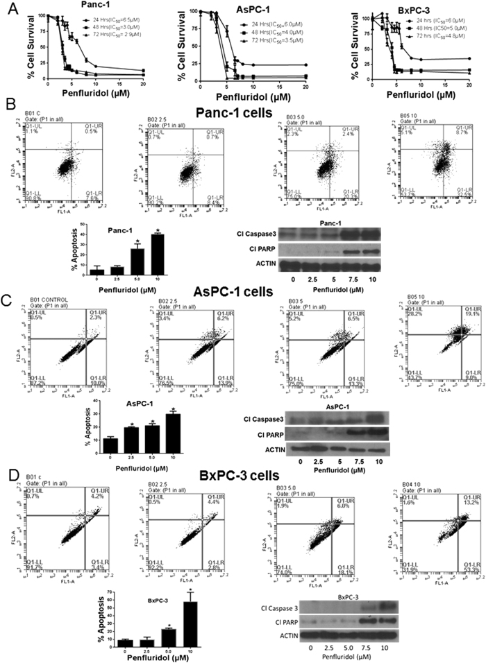 Penfluridol induces apoptosis and suppresses survival of pancreatic cancer cells. ( A ) Panc-1, AsPC-1 and BxPC-3 cells were treated with different concentrations of penfluridol for 24, 48 and 72 h. Cell survival was measured by Sulforhodamine B assay to estimate IC 50 values. The experiments were repeated three times with 8 replicates in each experiment. ( B–D ) Approximately 0.3 × 10 6 Panc-1, AsPC-1 and BxPC-3 cells were plated in 6 well plates, treated with 2.5, 5.0 and 10 μM penfluridol for 24 h and processed for AnnexinV/FITC apoptosis assay using Accuri C6 flow cytometer. Values were plotted as means ± SD. Experiment was repeated three times. *Statistically significant at p ≤ 0.05 when compared with control. Panc-1, AsPC-1 and BxPC-3 cells were treated with varying concentrations of penfluridol for 24 h and processed for western blotting. Representative blots showing concentration-dependent effect of penfluridol treatment on Cl Caspase 3 and Cl PARP. Actin was used as loading control. Shown figure is the representative blots of at least three independent experiments.