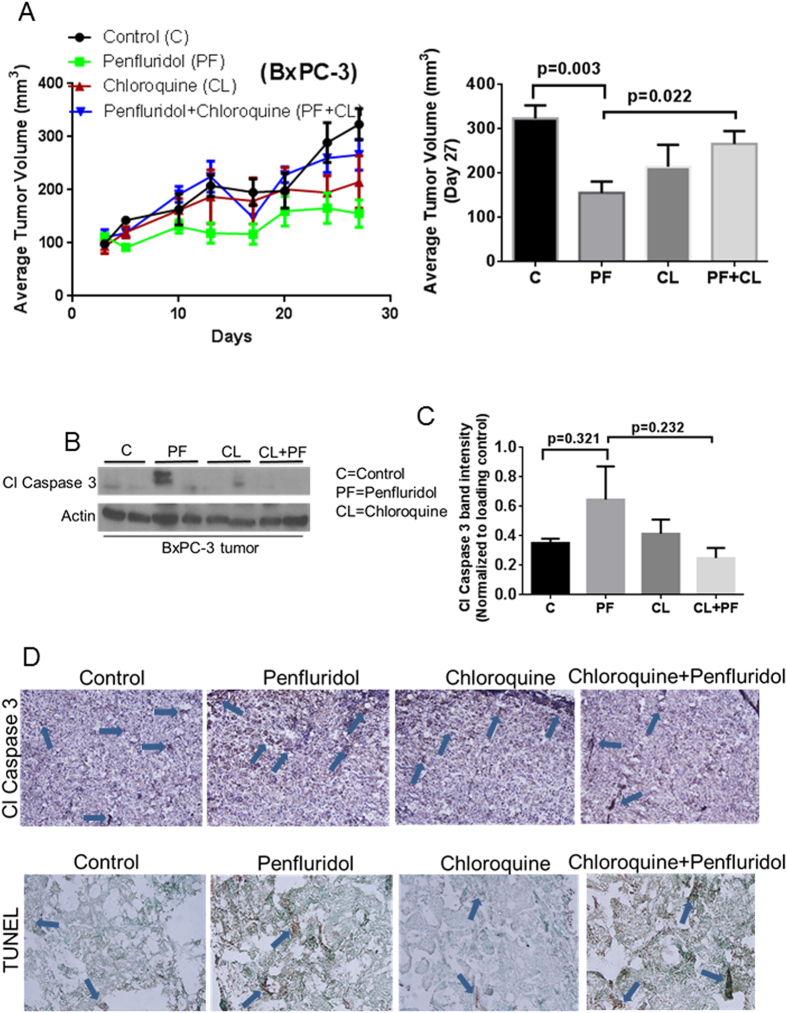 Penfluridol suppresses the growth of subcutaneously implanted BxPC-3 pancreatic tumors by autophagy-mediated apoptosis. ( A ) About 1 × 10 6 BxPC-3 pancreatic cancer cells were injected subcutaneously in flanks of 4–6 week old athymic nude mice. Once tumor volume reached around 70 mm 3 , mice were randomly divided into 4 groups. Group I received vehicle only and served as control. Group II received 10 mg/kg penfluridol by oral gavage every day. Group III received 50 mg/kg chloroquine (i.p) every day whereas Group IV received 10 mg/kg penfluridol as well as 50 mg/kg chloroquine every day till day 27. Tumors volume was measured twice a week using vernier caliper. Values were plotted as mean ± SEM. Statistically different at p ≤ 0.05 ( B ) Subcutaneously implanted tumors were removed aseptically after terminating the experiments. Tumors were homogenized, lysed and analyzed for Cl Caspase 3. Actin was used as loading control. Each lane of blot represents tumor from individual mice. ( C ) Blots were quantitated, normalized with actin and represented as bars. Values were plotted as means ± SEM and considered statistically significant at p ≤ 0.05 ( D ) Tumors were sectioned and immunostained for Cl Caspase 3 and TUNEL as described in method section.