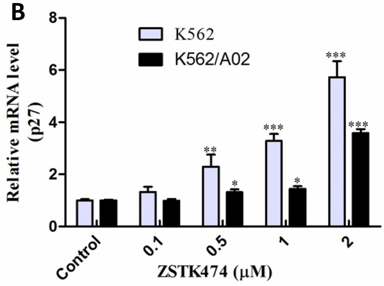 ZSTK474 affected the cell cycle-related proteins in K562 and K562/A02 cells. (A) Western blot analysis of the cell cycle-related proteins. K562 and K562/A02 cells were treated with indicated concentrations of ZSTK474 for 48 h. The levels of cyclin D1, p27, and p-pRb in nucleus were determined by western blot. (B) qRT-PCR analysis of p27 expression at mRNA level. Total RNA of the cells was extracted using TriZol reagent and quantified by a Nanodrop spectrophotometer. Five hundred ng of RNA was reverse-transcribed to cDNA. The PCR reaction was conducted in a 20 µl system containing 100 ng cDNA, 200 nM of former primer and reverse primer, using CFX96 TM Real-Time PCR Detection System. GAPDH was used as a housekeeping gene to normalize RNA expression. The relative gene expression levels were quantified by using the comparative Ct (ΔΔCt) method. Results represent mean ± SD of three independent experiments. *p