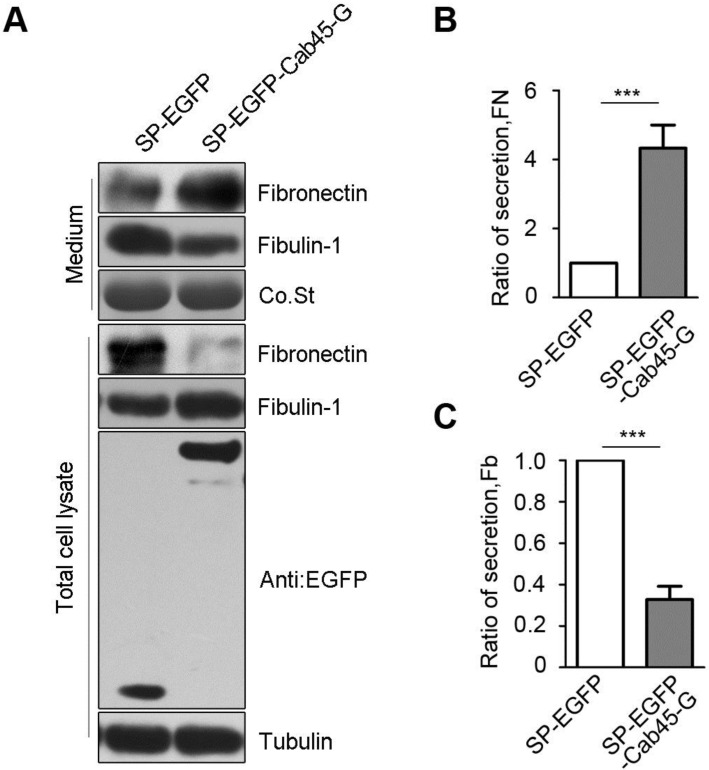 Overexpression of Cab45-G altered the secretion of ECM proteins. A, Hela cells were transfected with SP-EGFP or SP-EGFP-Cab45-G. The protein levels in the cell lysate and culture medium were determined by Western blot analysis. In SP-EGFP-Cab45G overexpressing HeLa cells, secretion of fibronectin (promote metastasis) to cell medium was increased, while fibulin-1 (inhibit metastasis) decreased. B, Quantification of the ratio of fibronectin secretion. The relative mRNA and protein expression levels were analyzed using the ImageJ image analysis software (NIH, Bethesda, MD). The data are presented as the means ± SEM and were normalized relative to the control cells. ** P