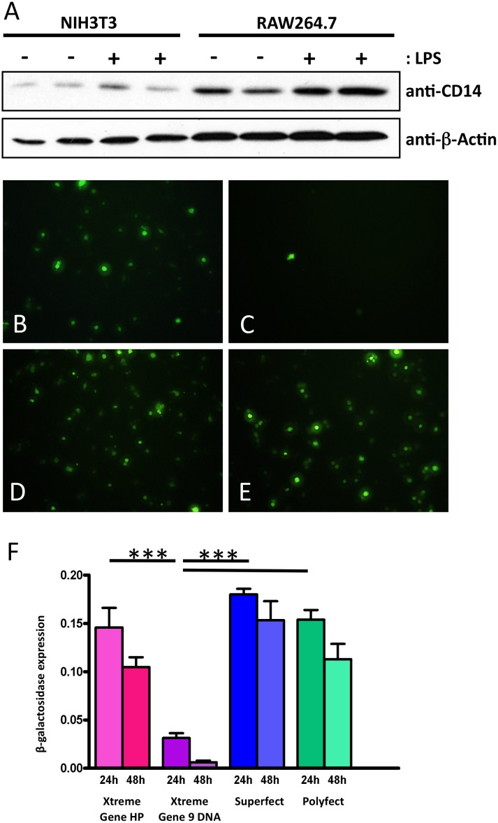 Transfection system establishment. A Western blot analysis of CD14 expression in untreated and LPS stimulated murine RAW264.7 macrophages and NIH/3T3 fibroblasts, β-actin as endogeous control. Transfection efficiency test by determination of GFP-positive RAW264.7 cells by cyto fluorescence 24 hours after transfection with B Xtreme Gene HP, C Xtreme Gene 9 DNA, D Superfect, E Polyfect, and F by β-galactosidase assay, ***: p