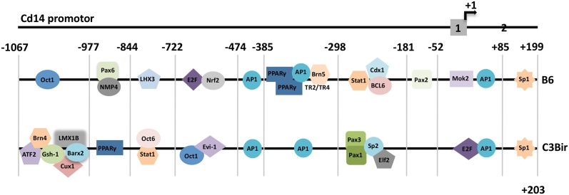 Patterns of transcription factor binding sites associated with inflammation and colitis. Bioinformational analysis of the Cd14 alleles from the B6 and the C3Bir strain revealed striking changes in transcription factor binding sites caused by SNPs. AP1 and Sp1 sites were common in both alleles contributing to the control of Cd14 expression in mice; +1: translation start site; grey boxes: exons 1 and 2.