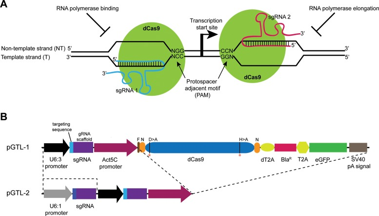 CRISPRi in Drosophila . ( A ) Diagram showing the CRISPR interference (CRISPRi) system. To repress transcription, the catalytically inactive Cas9 protein (dCas9, green) is targeted either to the template or non-template DNA strand based on the targeting sequence of the sgRNA and an adjacent PAM sequence. Binding of the dCas9:sgRNA complex upstream of the transcription start site interferes with transcription initiation by preventing recruitment of the RNA polymerase while its assembly at a downstream site prevents transcription elongation. ( B ) Schematic representation of the transfection vectors pGTL-1 and pGTL-2. In pGTL-1, a single guide RNA with a 20 nt targeting sequence and the dCas9 protein are coexpressed under Drosophila constitutive promoters U6:3 and Actin5C , respectively. The dCas9 is separated from the blasticidin resistance gene (Bla R ) and eGFP by self-cleaving T2A peptides (dT2A and T2A). The guide RNA (gRNA) scaffold contains the U6 transcription terminator sequence. The pGTL-2 vector contains an additional sgRNA scaffold under the U6:1 promoter, thus allowing production of two sgRNAs simultaneously with the dCas9 protein. The mutated amino acid residues (D10 > A and H841 > A) in dCas9 are marked with red asterisks (*). N = NLS sequence, F = FLAG epitope, pA = polyadenylation.