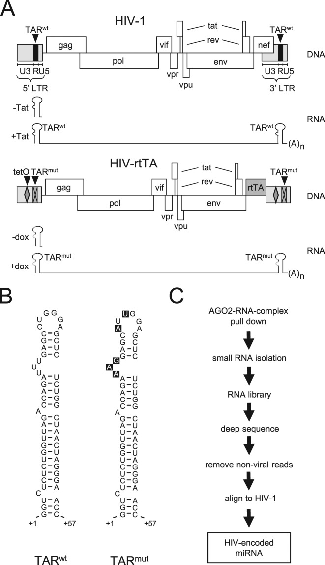 Experimental design. ( A ) A schematic of the <t>HIV-1</t> and HIV-rtTA genome is shown, with the LTR subdivided in U3, R and U5 domains. In HIV-rtTA, the Tat-TAR axis of transcription regulation was inactivated by multiple nucleotide substitutions in the bulge and loop sequences of TAR (TAR mut , crossed boxes). Transcription and replication of the virus were made <t>dox</t> dependent by the introduction of tetO elements in the U3 region of the LTR promoter and replacement of the nef gene by the rtTA gene. The short TAR-only and full-length RNA molecules produced by non-processive (in the absence of Tat [-Tat] or dox [-dox]) and processive transcription (in the presence of Tat [+Tat] or dox [+dox]), respectively, are shown. ( B ) Structure of the TAR hairpin of HIV-1 (TAR wt ) and HIV-rtTA (TAR mut ). The bulge and loop mutations present in TAR mut are boxed in black. ( C ) Strategy used to identify AGO2-bound viral RNAs.