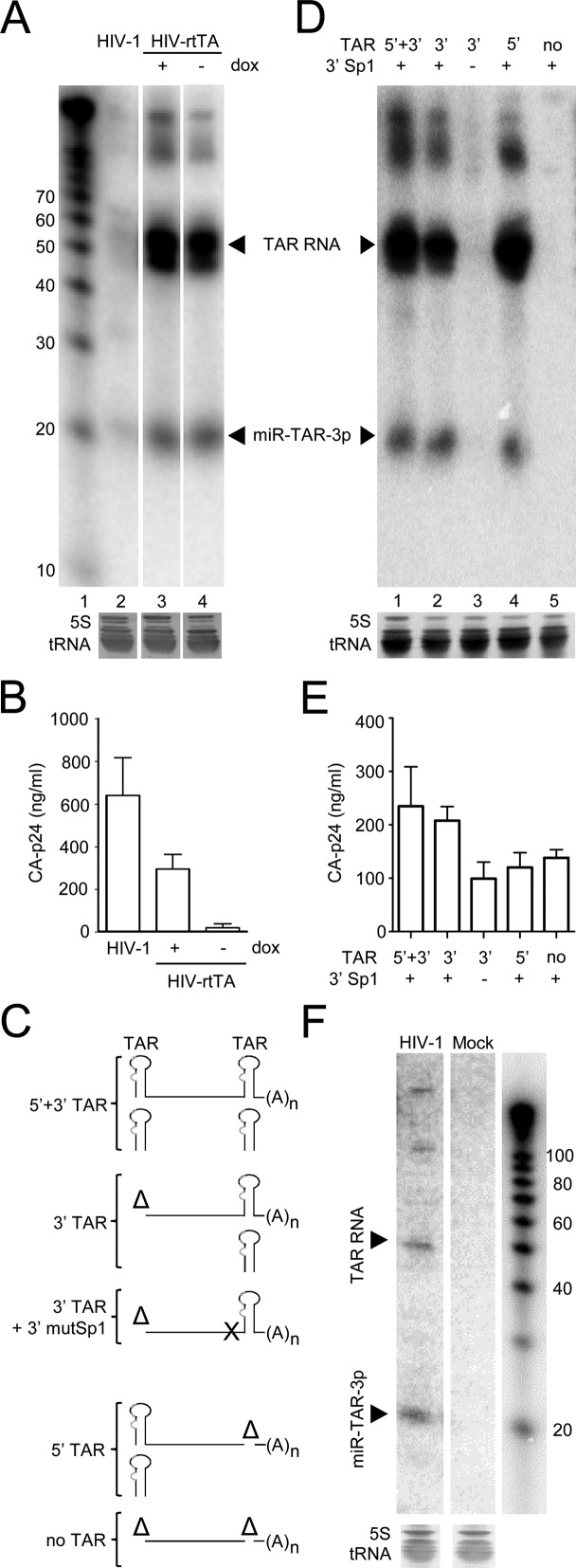 TAR and miR-TAR-3p RNAs are produced by non-processive transcription. ( A–B ) 293T cells were transfected with the HIV-1 and HIV-rtTA constructs and cultured for 48 h without dox (HIV-1 and HIV-rtTA) or with dox (HIV-rtTA). ( A ) Intracellular small RNAs were isolated and analysed by northern blotting. An LNA probe complementary to the miR-TAR-3p sequence was used to identify the position of miR-TAR-3p and TAR RNAs. The position of the size markers is shown on the left. Ethidium bromide staining of small 5S rRNA (5S) and tRNAs is shown as loading control below the blot. ( B ) The CA-p24 level in the culture supernatant was measured to quantify gene expression. The mean ±SD for three experiments is shown. ( C ) Expected TAR-containing transcripts produced by the HIV-rtTA variants with the TAR mut element in both the 5′ and 3′LTR, only the 5′ or 3′ LTR, or no TAR element (Δ, TAR deletion). In the 3′TAR+3′mutSp1 variant, the TAR element in the 5′ LTR was deleted and the Sp1 binding sequences in the 3′ LTR region were mutated. This set of variants is based on the HIV-rtTA-Tat Y26A variant ( 47 ) and all constructs carry the Tat Y26A mutation (in addition to the TAR mut mutations) to disable the Tat-TAR transcription activation mechanism.( D ) 293T cells were transfected with the HIV-rtTA constructs shown in panel C and cultured for 48 h with dox. Small RNAs were isolated and analysed by northern blotting using the miR-TAR-3p probe, as described for panel A. ( E ) CA-p24 production was analysed as described for panel B. The mean ±SD for three experiments is shown. ( F ) CD4-enriched human PBMC were infected with 293T-produced wt HIV-1 virus and cultured for 48 h. Small RNAs were isolated and northern blot analysis was performed as described for Figure 3A . Mock, control uninfected PBMC. The RNA size marker is shown at the right (a short phosphorimager exposure is shown for this lane because of the high radio activity of the 32 P-labeled marker fragments).