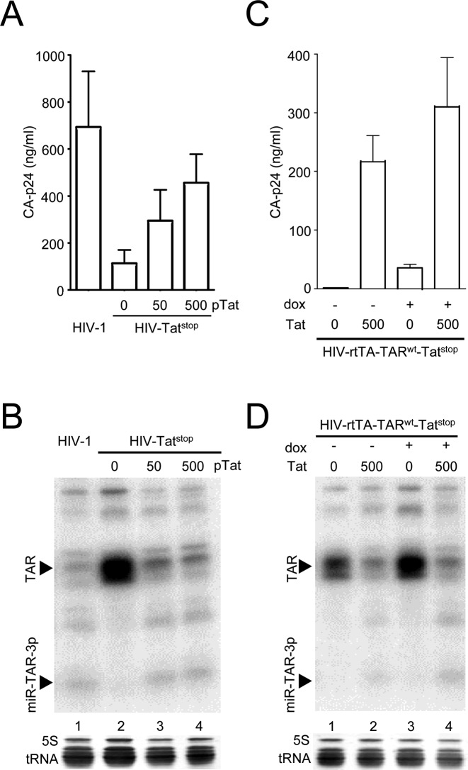 Tat activates miR-TAR-3p production. ( A ) 293T cells were transfected with the HIV-1 plasmid or with the Tat-deficient HIV-Tat stop construct and a varying amount of Tat plasmid (0, 50 or 500 ng). The CA-p24 level in the culture supernatant was measured after 48 h. The mean ±SD for three experiments is shown. ( B ) Small RNAs were isolated and analysed by northern blotting using the miR-TAR-3p probe, as described for Figure 3A . ( C ) 293T cells were transfected with the Tat-deficient HIV-rtTA-Tat stop construct with a wild-type TAR element (TAR wt ). When indicated, cells were co-transfected with 500 ng pTat and cultured in the presence of dox. The CA-p24 level in the culture supernatant was measured after 48 h. The mean ±SD for three experiments is shown. ( D ) Small RNAs isolated from the transfected cells were analysed by northern blotting using the miR-TAR-3p probe, as described for Figure 3A .