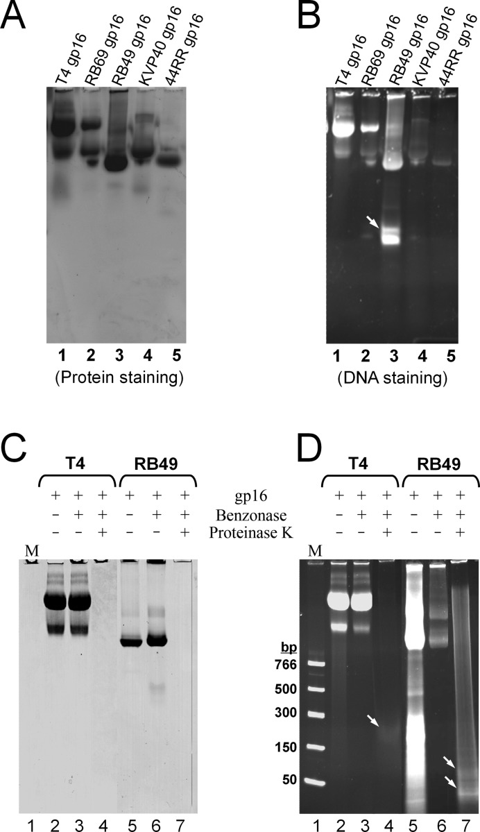 Analysis of in vivo -bound gp16-DNA complex. (A and B) Purified gp16 from phage T4 and related phages (8 μg each) were electrophoresed on a native 4–20% gradient polyacrylamide gel. The same gel was stained with Coomassie blue for protein ( A ) and SYBR Green I for DNA ( B ). The arrow corresponds to a fragment of DNA that was dissociated from RB49 gp16 during electrophoresis (panel B, lane 3). (C and D) Most of the gp16-bound DNA is resistant to Benzonase. The purified T4 and RB49 gp16 proteins (1 mg) were treated with Benzonase (Novagen) overnight at room temperature to digest the loosely-bound DNA fragments. Benzonase was removed by passing the samples through a HiLoad 16/600 Superdex 200 size-exclusion column. The tightly bound nuclease-protected DNA was then released by digesting gp16 with Proteinase K (Thermo Scientific) at 65°C for 30 min. Samples were analyzed on a 4–20% gradient polyacrylamide gel. The gel was stained with Coomassie blue for protein ( C ) and SYBR Green I for DNA ( D ). The positions of the DNA bands released from Proteinase K digestion are marked with arrows (panel D, lanes 4 and 7).