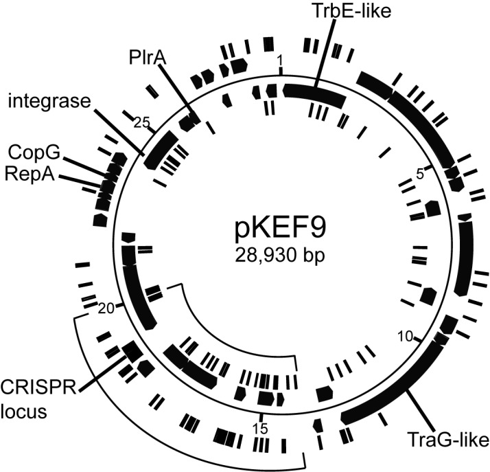 Circular genome map of <t>pKEF9.</t> Protospacers on each <t>DNA</t> strand are indicated on inner and outer concentric circles. Gene products with predicted functions are labelled. The CRISPR array is marked.