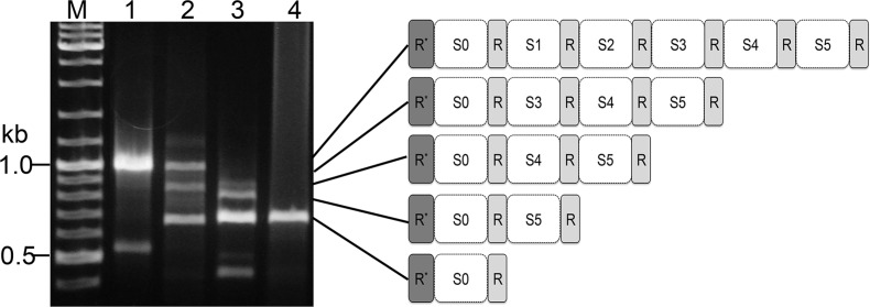 PCR products showing the heterogeneous CRISPR spacer contents of pKEF9 (S1–5). Lane 1—pKEF9 from conjugated Sulfolobus islandicus ; lane 2—200 hpc; lane 3—280 hpc and lane 4—300 hpc. M—DNA size marker. R*—corrupted repeat.