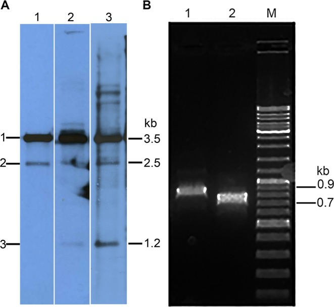 Analysis of pKEF9 integrated in the Sulfolobus islandicus genome. ( A ) Southern blot analysis of pKEF9 integration in S. islandicus . Lane 1—24 hpc; lane 2—38 hpc and lane 3 85 hpc. Bands 1, 2 and 3 derive from free pKEF9 and pKEF9 integrated at the tRNA Glu (CTT) and tRNA Glu (CTC) match sites, respectively. ( B ) PCR amplification products obtained at 85 hpc from pKEF9 integrated at lane 1—tRNA Glu (CTC) and lane 2—tRNA Glu (CTT). M—DNA size markers.