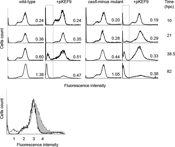 Flow cytometry analysis of DNA content distributions in the wild-type and Δ cas6 mutant of Sulfolobus islandicus at increasing times post conjugation. Fluorescence intensity measurements were made at 10, 21, 38.5 and 85 hpc on unconjugated and conjugated wild-type and mutant strains. The upper panel shows the peak contents. Peak 1—degraded DNA and/or cellular fragmentation; peak 2—cells with single chromosomes; peak 3—cells with two chromosomes and peak 4—shaded area—mainly plasmid DNA present in conjugated cells.