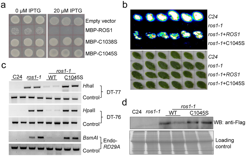 Iron-Sulfur cluster binding site is essential for ROS1 function. ( a ) Enzymatic activity of WT and mutated ROS1 in E. coli indicated by colony formation of WT and mutated (C1038S and C1045S) ROS1 transformants at 0 and 20 μM IPTG. ( b ) Complementation assay showing that WT, but not the mutant form of ROS1-3Flag, can restore LUC expression in ros1-1 . Leaves were collected for luminescence imaging after the treatment with 3% NaCl for 6 h. ( c ) DNA hypermethylation phenotype of ros1-1 plant transformed with the WT or mutant form (C1045S) of ROS1 . Methylation-sensitive restriction enzymes ( Hha I, Hpa II and BsmA I) were used for the chop-PCR analysis and undigested DNA was amplified as a control. ( d ) Detection of WT ROS1 protein and site-directed mutated (C1045S) ROS1 protein in transgenic Arabidopsis plants by Flag antibody. About 10 μg protein extracts were loaded in each well. The gel for loading control was stained with Coomassie blue.