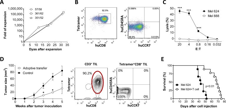 Antitumor effect by in vitro expanded MART-1-specific human CD8 T cells from humanized mice Tetramer + CD8 + T cells purified from hu-mice ( n = 3) were expanded in cultures as shown in Fig 3b A. - C. , and the anti-melanoma activity of in vitro expanded CD8 + T cells were assessed by adoptive transfer into melanoma-bearing recipients D. - E. A. Human T cell expansion in cultures at the indicated time points. B. Expression of MART-1-specific TCR, CD8, CD45RA and CCR7 on expanded human T cells. C. Cytotoxicity of the expanded human CD8 + T cells against melanoma cells. D. Left panel , tumor burden in mice receiving 1×10 6 of Mel 624 (HLA-A2 + MART-1 + ; s.c.) cells with or without (control) adoptive transfer of in vitro -expanded tetramer + CD8 T cells (1×10 7 per mouse ; n = 5 per group); Right panel , phenotypic analysis of CD3 + TILs at week 5 post-transfer of in vitro -expanded tetramer + CD8 T cells. E. Survival of mice that received 2×10 5 Mel 624 cells (i.v.) with or without adoptive transfer of 1×10 7 in vitro -expanded tetramer + CD8 T cells ( n = 9 per group). *, p