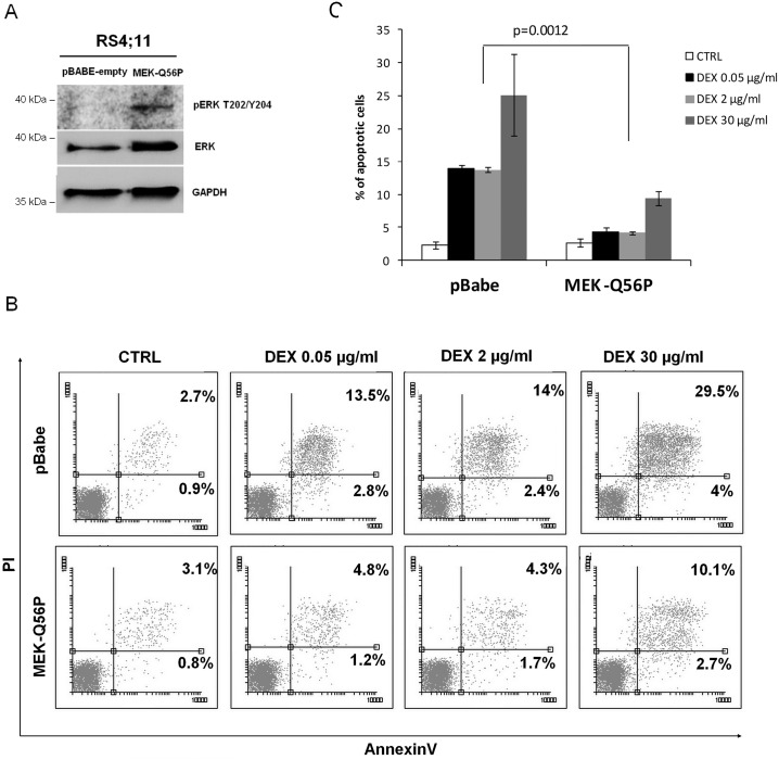 Overexpression of a constitutively active MEK1 mutant (MEK-Q56P) in GC-sensitive RS4;11 cells induces resistance to DEX. (A) RS4;11 cells were retrovirally transduced with MEK-Q56P or empty control. Cells were lysed and ERK1/2 phoshorylation status was assessed by immunoblotting. (B-C) Control cells and MEK-Q56P—transduced cells were incubated with DEX (0.05, 2 or 30 μg/ml) for 72h. Thereafter, cell death was assessed by annexinV/PI staining and flow cytometry analysis. Absolute, averaged numbers of apoptotic cells in two independent experiments are indicated in (C). Error bars represent SD. P value was calculated using Student's t-test.