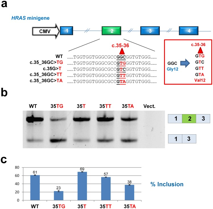 """p.Gly12Val mutations in codon 12 of HRAS exon 2 affect splicing differently. ( a ) Displays the HRAS minigene construct and the wild type and mutant sequences. The HRAS minigene consisted of the first four HRAS exons (including the natural intronic sequences) cloned into the polylinker of a pcDNA3.1+ vector. ( b ) Representative results from HepG2 cells transfected with wild type and mutant minigenes. Splicing analysis by PCR amplification and agarose gel electrophoresis reveals extensive exon 2 skipping from c.35_36GC > TG construct and moderate exon 2 skipping from c.35_36GC > TA construct. The lane labelled """"Vect."""" shows the results from a sample transfected with an empty p.cDNA3.1+ vector. ( c ) Quantification of the exon 2 inclusion rate from triplicate transfections using a fragment analyzer. Numbers are % inclusion. Calculations are based on molar ratios."""