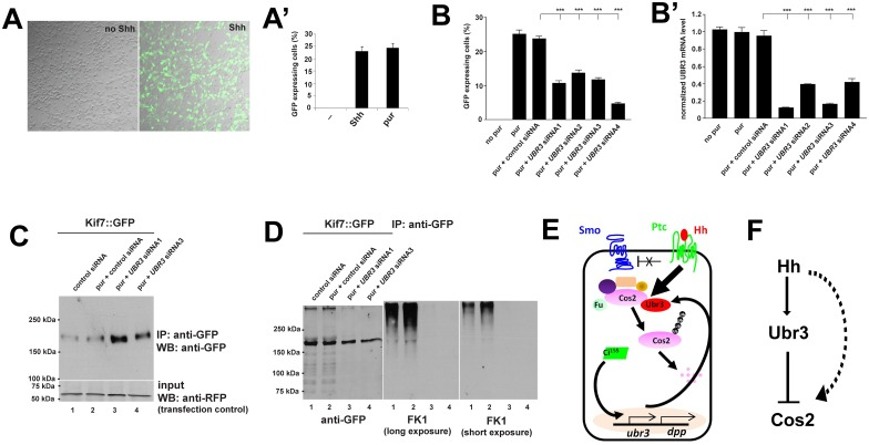 UBR3 affects Shh signaling in mammalian cells by poly-ubiquitinating Kif7. (A) The Gli::GFP reporter is induced by both Shh and purmorphamine (pur) in <t>C3H10T1/2</t> cells. (A') Quantification of Gli::GFP expressing cells in response to Shh and pur. (B-B'). (B) Quantification of the proportion of Gli::GFP expressing C3H10T1/2 cells. (B') Real time <t>PCR</t> to estimate the expression of UBR3 under the conditions shown in B. All values have been normalized to cells treated with pur and transfected with no siRNA. (C) C3H10T1/2 cells were transfected with the Kif7::GFP expression construct. Cells were transfected with various siRNAs and treated with pur (lanes 2–4) or DMSO (lane 1) and lysed, followed by immunoprecipitation against GFP. Western blots were performed with indicated antibodies. RFP expressions provided as transfection controls. (D) Kif7::GFP was immunoprecipitated from the lysate of the cells transfected with Kif7::GFP construct and shown siRNA followed by treatment of MG132. FK1 anti-ubiquitin antibody was used to detect ubiquitinated Kif7 in a Western blot. (E) A model shows the regulation of Hh signaling by Ubr3. Ubr3 regulates the proteasomal degradation of Cos2 via K48-mediated poly-ubiquitination of Cos2. ubr3 is one of the target genes activated by Hh signaling, forming a positive feedback to promote further activation of Hh signaling. Hh signaling also promotes physical association between Ubr3 and Cos2, increasing the ubiquitination of Cos2. (F) Diagram shows parallel regulations of Cos2 protein levels downstream of Hh activation.