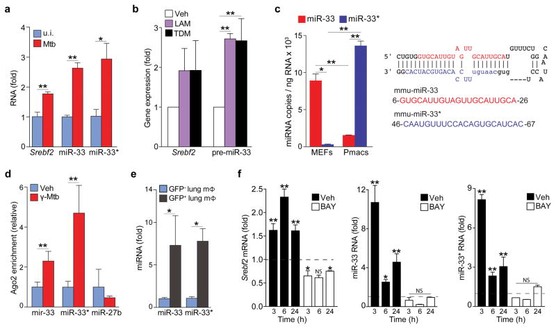 M. tuberculosis infection upregulates the miR-33 locus in macrophages ( a ) qPCR quantification of miR-33, miR-33*, and Srebf2 levels in peritoneal macrophages infected with H37Rv Mtb for 48 h. ( b ) qPCR quantification of S rebf2 and pre-miR-33 in BMDMs treated with lipoarabinomannan (LAM; 5 μg/mL) or trehalose dimycolate (TDM; 2.5 μg/mL) 3 h ( Srebf2 ) or 24 h (pre-miR-33) after treatment. ( c ) qPCR quantification of miR-33 and miR-33* expression in mouse embryonic fibroblasts (MEF) and peritoneal macrophages (Pmac). The mmu-miR-33 stem loop structure with the guide (miR-33; blue) and passenger (miR-33*; red) strand are shown at right. ( d ) Co-precipitation of endogenous miR-33, miR-33* or miR-27b (control) with Argonaute2 in peritoneal macrophages treated with vehicle (control) or gamma-irradiated Mtb (γ-Mtb; 10 μg/mL). ( e ) Quantification of miR-33 and miR-33* expression in GFP + (infected) or GFP − (uninfected) alveolar macrophages isolated from mice infected with a GFP-expressing H37Rv Mtb strain for 2 weeks. ( f ) Quantification of S rebf2 , miR-33 and miR-33* levels in BMDMs treated with γ-Mtb in the absence (Unstim) or presence of the NFκB inhibitor BAY11-7082 (BAY; 1 μM). Data are expressed as fold-change for the γ-Mtb treatment relative to untreated for each time point and dotted lines dileneate the threshold of control. * P ≤0.1, ** P ≤0.05 (Students' t-test ( a , d , e ), one-way ANOVA ( b ), two-way ANOVA ( c , f )). Data are from one experiment representative of 3 independent experiments with similar results ( a , f ; mean ± s.e.m). Data are from 2 experiments ( b , c , d; mean ± s.e.m). Data are from 3 mice ( e ; mean ± s.e.m).