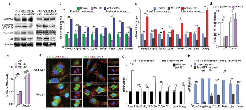 miR-33 and miR-33* repress AMPKα and downstream transcription factors controlling autophagy and lysosomal gene programs ( a ) Western blotting of lysates from peritoneal macrophages treated with anti-miR-33 or anti-miR-33* or control (ctrl) miR in the presence or absence of the AMPK inhibitor compound C (Ampk i , 5 μM). ( b, c ) mRNA levels of Foxo3 , Tcfeb and their downstream transcriptional targets in peritoneal macrophages transfected with ( b ) miR-33 and ( c ) miR-33* mimics or inhibitors as indicated. ( d ) Foxo3 and ( e ) Tcfeb mRNA in wild-type (WT) or Ampk −/− BMDMs treated with mmu-miR-33, -33*, or Ctrl mimic. ( f ) Immunofluorescence (IF) imaging of FOXO3a and TFEB in green, F-actin (red) and DAPI (blue) in wild-type (WT) and Mir33 −/− BMDMs. ( g ) Quantification of Foxo3 , Tcfeb and their downstream transcriptional targets (right) in WT and Mir33 −/− BMDMs. ( h ) Quantification of Foxo3 , Tcfeb and their downstream transcriptional targets in GFP + (infected) or GFP − (uninfected) alveolar macrophages isolated from mice infected with a GFP-expressing H37Rv Mtb strain, 2 weeks post-infection. * P ≤0.1, ** P ≤0.05, *** P ≤0.005 (Student's t-test ( b – c, g, h ), one-way ANOVA ( d , e )). Data are from one experiment representative of 3 ( (b, c, g; mean ± s.e.m)) or 2 (( a , f ) independent experiments. Data are from 2 experiments ( d , e; mean ± s.e.m). Data are from 3 mice ( h ; mean ± s.e.m).
