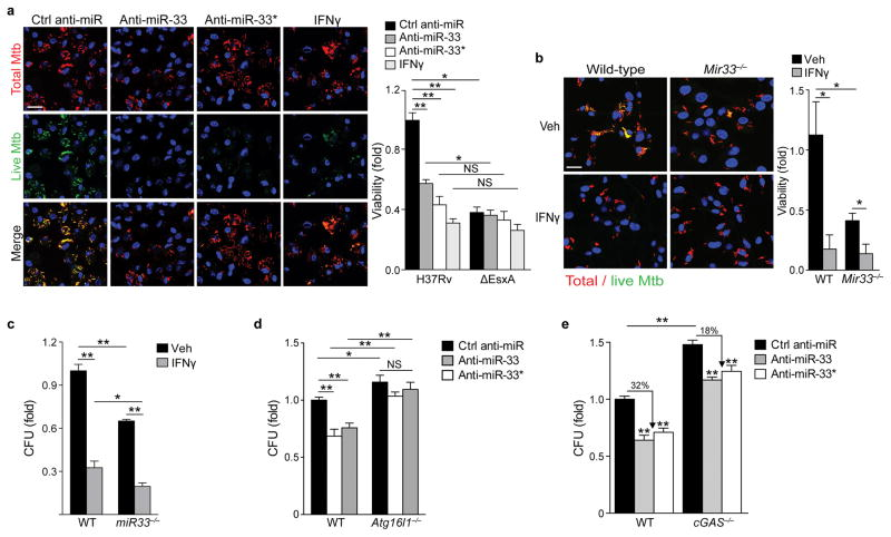 Inhibition of miR-33 and miR-33* enhances targeting of M. tuberculosis for autophagy and bacterial killing ( a ) Immunofluorescence imaging of peritoneal macrophages treated with control anti-miR, anti-miR-33, anti-miR-33*, or IFN-γ (200 units/mL) and infected with an Mtb H37Rv strain co-expressing mCherry and anhydrotetracycline-inducible GFP for 48 h. Metabolically active Mtb are GFP and mCherry positive, whereas inactive or non-viable bacteria are mCherry positive only. Scale bar = 25 μm. Quantification of bacterial viability in peritoneal macrophages infected with Mtb H37Rv or ΔesxA mutant strain shown on the right. ( b–c ) Quantification of Mtb survival in wild type (WT) or miR-33 −/− BMDMs treated with or without IFN-γ (200 units/mL) using ( b ) the dual fluorescence viability assay as in ( a ), or ( c ) colony forming units (CFU) 5 days post-infection. ( d ) Mtb survival in wild type (WT) or Atg16l1 −/− BMDMs treated with control anti-miR, anti-miR-33 or anti-miR-33*, measured by CFU 5 days post-infection. ( e ) Mtb survival in wild type (WT) or cGAS −/− BMDMs treated with control anti-miR, anti-miR-33 or anti-miR-33*, measured by CFU 5 days post-infection. NS, not significant; * P ≤0.05, **P≤0.005 (Two-way ANOVA ( a – e )). Data are from one experiment and are representative of 2 independent experiments (a-e; mean ± s.e.m) with similar findings.