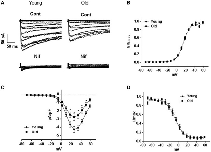 L-type voltage-gated calcium channel currents . (A) Representative traces of inward Ba 2+ currents generated by 8 mV steps from a holding potential of −70 to +58 mV in vascular smooth muscle cells (VSMCs) isolated from mesenteric arteries of young and old rats. Membrane capacitances were 32 and 48 pF, respectively. Currents from both animal groups (cont) were equally blocked by 1 μM nifedipine (nif). (B) Averaged current-voltage (I-V) relationships showing current density in VSMCs of arteries from young compared to old. Steady state activation (C) , and inactivation (D) curves are represented as I/I max and G/G max ; respectively.