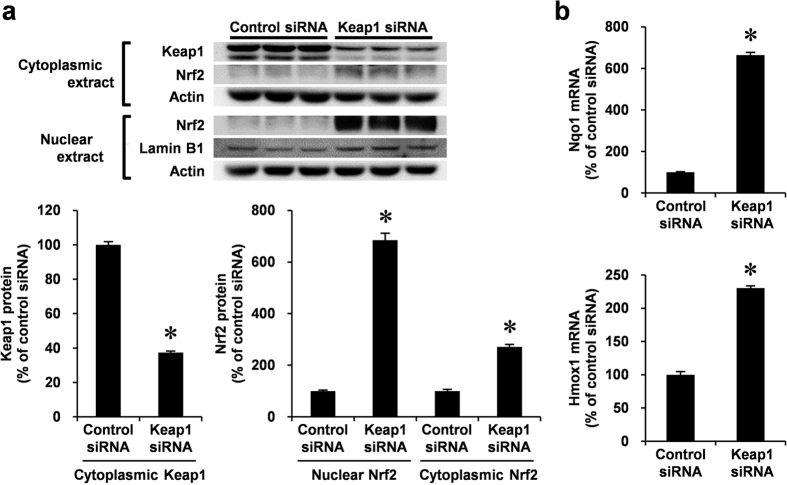 Endogenous Keap1 knockdown by siRNA and expression of Nrf2 and its target genes, including Nqo1 and Hmox1 in VSMCs. ( a,b ) RASMCs were transiently transfected with Keap1 or control siRNA for 48 h. ( a ) Nuclear and cytoplasmic protein levels were analyzed by Western blotting. Cytoplasmic and nuclear proteins were semi-quantified by normalizing with actin and lamin B protein, respectively. ( b ) mRNA levels were analyzed by real-time PCR. Data are expressed as mean ± SEM of three independent experiments. * P