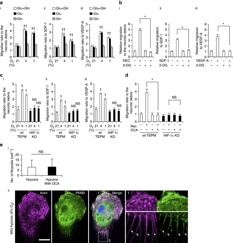 The role of glycolytic reprogramming in macrophage migratory capacity in vitro . ( a ) (i-iii) Macrophage migration activity to various chemoattractants (the supernatant of necrotic cell debris (i), stromal cell-derived factor 1 (SDF-1; 100 ng ml −1 ; ii) and VEGF-A (100 ng ml −1 ; iii)) was measured by transwell assay in normoxia (21% O 2 , 4 h), mild hypoxia (4% O 2 , 4 h) and severe hypoxia (1% O 2 , 4 h). The culture mediums were supplemented with 10 mM glucose (Glu) only, 2 mM L-glutamine (Gln) only or both. The y axis represents the migration activity relative to untreated condition. n =3 animals. ( b ) Macrophage migration activity was measured in mild hypoxia in the presence of 2-DG (20 mM). n =3 animals. ( c ) Migration activity in wild-type and HIF-1α-deficient macrophages was measured in the same manner as 4 ( a ). n =3 animals per group. ( d ) Macrophage migration activity to the supernatant of necrotic cell debris was measured in mild hypoxia in the presence of DCA (10 mM). n =3 animals per group. ( e ) (i) The number of filopodia in TEPMs is shown. TEPMs were cultured under mild hypoxia in the presence or absence of DCA (10 mM). (average with s.d. n =100 cells analysed). (ii) Representative immunocytochemical staining of Hoechst (blue), PKM2 (green) and Phalloidin (magenta) in TEPMs under mild hypoxia is shown. F-actin and PKM2 were co-localized in lamellipodia (magnified view 1, dotted line) and filopodia (magnified view 2, arrowheads). Scale bars, 10 μm. All graphs indicate average with s.d.. Student's t -test was performed to calculate P value. * P
