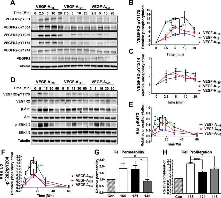 VEGF-A isoforms promote differential VEGFR2 phosphorylation and downstream signal transduction. (A) Endothelial cells were stimulated with either VEGF-A 165 , VEGF-A 121 or VEGF-A 145 (1.25 nM) for 2.5, 5, 10 or 20 min before lysis and processing for immunoblot analysis using site-specific phospho-antibodies against VEGFR2. (B,C) Quantification of VEGFR2-pY1175 (B) and VEGFR2-pY1214 (C) levels upon VEGF-A isoform stimulation. (D) Endothelial cells were stimulated with either VEGF-A 165 , VEGF-A 121 or VEGF-A 145 (1.25 nM) for 5, 15, 30 or 60 min before lysis and processing for immunoblot analysis of signal transduction. (E,F) Quantification of Akt-pS473 (E) and ERK1/2-pT202/pY204 (F) levels upon VEGF-A isoform stimulation. (G,H) Endothelial cells were seeded into cellular assays to assess endothelial cell permeability by measuring trans-endothelial electrical resistance (TEER) (G) or proliferation (H) upon control (Con) or VEGF-A 165 (165), VEGF-A 121 (121) or VEGF-A 145 (145; 1.25 nM) stimulated conditions for 4 or 24 h respectively. Error bars indicate ±s.e.m. ( n ≥4). * P