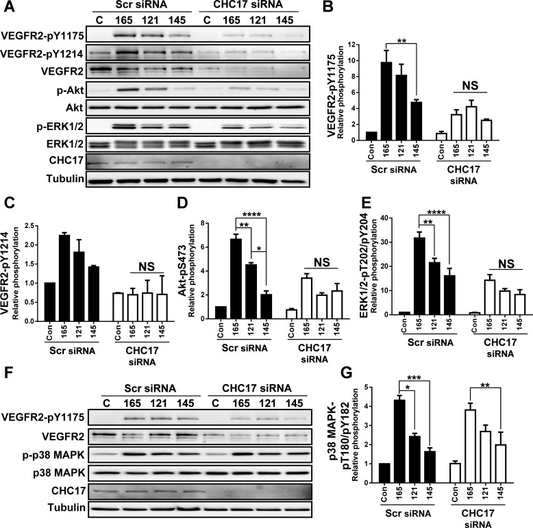 Depletion of clathrin heavy chain disrupts VEGF-A isoform-specific programing of Akt and ERK1/2, but not p38 MAPK activation. (A) Endothelial cells were subjected to scrambled (Scr) or clathrin heavy chain (CHC17)-specific siRNA duplexes, were stimulated with VEGF-A 165 (165), VEGF-A 121 (121) or VEGF-A 145 (145; 1.25 nM) for 0 or 15 min prior to cell lysis and processing for immunoblot analysis of signal transduction. (B-E) Quantification of VEGFR2-pY1175 (B) and VEGFR2-pY1214 (C), Akt-pS473 (D) and ERK1/2-pT202/pY204 (E) levels upon VEGF-A isoform stimulation. (F) Endothelial cells were subjected to scrambled (Scr) or clathrin heavy chain (CHC17)-specific siRNA duplexes, were stimulated with either VEGF-A 165 , VEGF-A 121 or VEGF-A 145 (1.25 nM) for 15 min prior to cell lysis and processing for immunoblotting. (G) Quantification of p38 MAPK-pT180/pY182 levels upon VEGF-A isoform stimulation. Error bars indicate ±s.e.m. ( n =3). * P