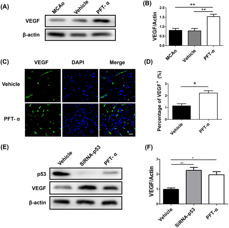 Increased expression of VEGF after inhibition of p53 in vivo and vitro . ( A ) Protein abundance of VEGF 7 days post-stroke using western blot analysis of brain homogenates (MCAo group; Vehicle group; PFT-α group). β-actin served as a loading control. ( B ) Quantitative determination showed that PFT-α significantly increased the expression of VEGF in cerebral ischemic rats. ** P