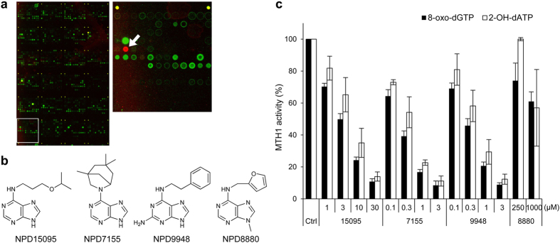 Identification of purine-based MTH1 inhibitors by chemical array screening. ( a ) Representative fluorescent image of the chemical arrays (left) and magnified image of the area in a white square (right). Spot of NPD15095 is indicated by a white arrow. ( b ) Chemical structures of purine-based MTH1 inhibitors. ( c ) Effects of NPD15095 (15095), NPD7155 (7155), NPD9948 (9948), and NPD8880 (8880) on the catalytic activity of MTH1. 8-oxo-dGTP and 2-OH-dATP were used as substrates. Data are shown as mean ± s.d. from three independent experiments.