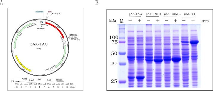 pAK-TAG expression vector and high level expression of recombinant AK fusion proteins in soluble form. (A) Schematic representation of the pAK-TAG vector. (B) SDS-PAGE analysis of the expression of AK-TNFα, AK-TRAIL, and AK-T4 DNA ligase.
