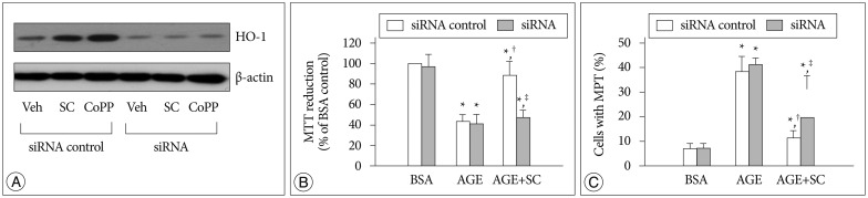 A : Effect of siRNA transfection on HO-1 protein expression. Cells were transfected with 30 picomoles of HO-1 siRNA or scrambled siRNA (siRNA control) and incubated for 24 hr with vehicle (Veh) or each 20 µM of sildenafil citrate (SC) and cobalt protophorphyrin (CoPP). HO-1 protein was determined by Western blot analysis of the cell extracts. B : MTT reduction was determined by colorimetric analysis. C : Confocal microscopic analysis was performed in cells double-stained with TMRM and calcein/AM. Data were represented as the mean±SEM of 4 experiments. * p