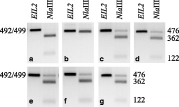 Detection of EIL2 in hybrids of C. formanekiana ( Cf ) and C. medium ( Cm ). The original PCR products ( EIL2/eil2 ) are 499 bp or 492 bp in Cf and Cm , respectively. Upon digestion with the restriction enzyme Nla III CfEIL2 produces DNA fragments of 362 bp, 122 bp and 16 bp ( a ). In contrast Cm containing the 7 bp deletion in eil2 produces DNA fragments of 476 bp and 16 bp ( b ). The 16 bp DNA fragments are not detected. Nla III restriction analysis of 5 heterozygote Cf × Cm hybrids shows that all hybrids contain both Cf and Cm specific DNA fragments ( c – g , hybrids A–E). Hybrids were produced according to [ 57 ]