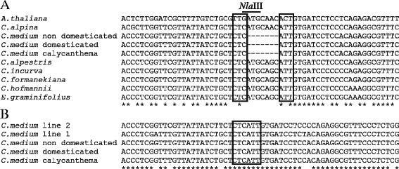 Alignment of genomic EIL2 DNA sequences. The aligned area presented is centered on the seven bp deletion in C. medium (represented with -). Nucleotides bordering the mutation are boxed. Conserved nucleotides are marked with asterisk. a EIL2 from six Campanula species, three C. medium cultivars, Edraianthus graminifolius , and Arabidopsis EIN3 . The restriction site of Nla III found in EIL2 Campanula sequences not having the mutation is marked with bold line b eil2 from three C. medium cultivars and two PKM breeding lines (line 1 (Sweet Mee®) and line 2)