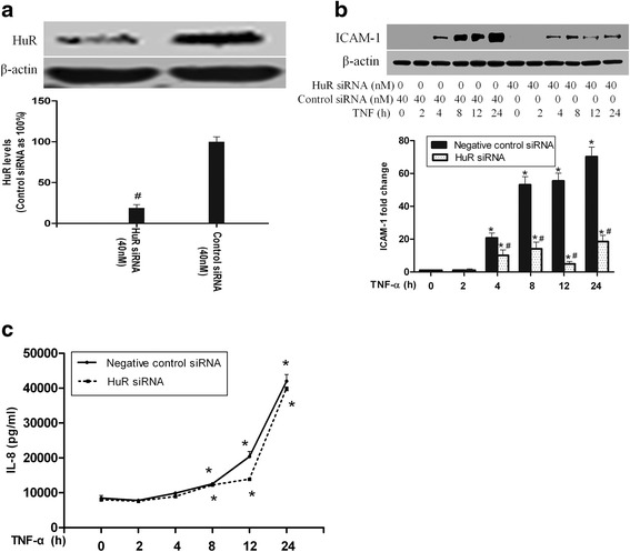 HuR silencing reduced ICAM-1 levels, while had no effect on IL-8 expression. The Western blot showed that HuR silencing greatly reduced HuR levels and down-regulated ICAM-1 levels following TNF-α stimulation ( a and b ). ELISA analysis demonstrated a significant increase of IL-8 both in HuR-silenced cells and control cells after TNF-α stimulation, nevertheless, the IL-8 levels in both groups were statistically undistinguishable ( c ). Western blot band density and ELISA data are expressed as mean ± SEM. n =3, # P