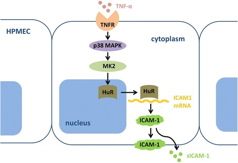 Schematic model of the MK2/HuR pathway in the post-transcriptional regulation of TNF-α-induced ICAM-1 expression. The present results show that HuR nucleo-cytoplasmic shuttling mediated by TNF-α stimulation results in the stabilization of ICAM-1 mRNAs and increased protein production. The possible mechanism is that MK2 induces HuR cytoplasmic translocalization, which leads to an increase in stability of HuR-mRNA complex formation, and therefore increases ICAM-1 expression. TNFR, TNF-receptor; sICAM-1, soluble ICAM-1
