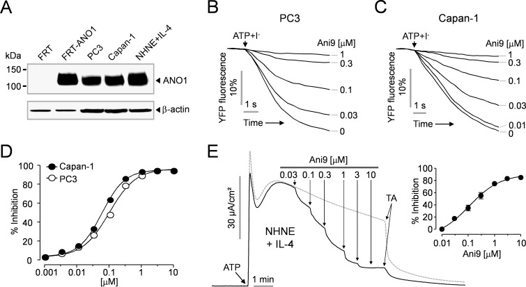 Effect of Ani9 on endogenous CaCCs in PC3, Capan-1 and NHNE cells. A) Immunoblot of ANO1 protein in FRT, FRT-ANO1, PC3, Capan-1 and NHNE cells. Blots shown are representative of experiments performed three times. B-C) Effect of Ani9 on CaCCs activity was measured in PC3 and Capan-1 cells expressing a halide sensor YFP. The indicated concentrations of Ani9 were applied 20 min prior to CaCCs activation by 100 μM ATP. D) Summary of dose response (mean ± S.E., n = 6). E) Effect of Ani9 on CaCCs activity in IL-4 treated (10 ng/mL; 48h) NHNE cells. CaCCs currents were induced by 100 μM ATP and then the indicated concentrations of Ani9 were applied. The remaining CaCCs currents were abolished by 100 μM tannic acid (TA). (right) Summary of dose response (mean ± S.E., n = 4).