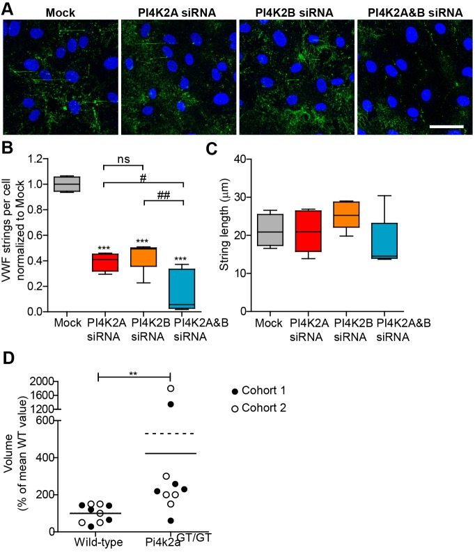Effect of PI4KII-kinase depletion on VWF string formation in vitro and bleeding time in vivo . (A) HUVECs treated with vehicle (Mock) or siRNA against PI4K2A, PI4K2B or both transcripts (PI4K2A B) were stimulated with histamine under flow to release VWF strings, then fixed under flow and their surface was labelled with anti-VWF for imaging. Scale bar: 50μm. (B,C) String number per cell (B) and string length (C), were then measured, with whisker plot showing mean, maximum and minimum of more than four experiments. Data were analysed by one-way ANOVA ( P