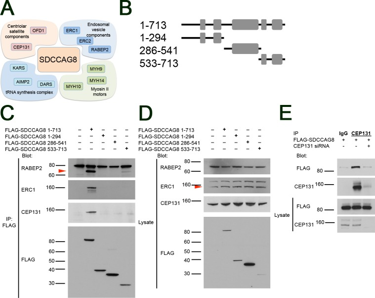 SDCCAG8 associates with a characteristic set of proteins at the centrosome. ( A ) The Sdccag8 interacting proteins discovered by SILAC as centrosomal components belong to 4 functional groups, i.e. centriolar satellite components, endosomal vesicle components, tRNA synthesis complex proteins, and myosin type II motors involved in ciliogenesis. ( B ) Overview of the SDCCAG8 constructs used in this study. Numbering corresponds to amino acid positions. Gray boxes designate coiled-coil domains. ( C ) SDCCAG8 interacts with <t>RABEP2,</t> ERC1, and CEP131. FLAG-tagged full-length and truncation constructs of SDCCAG8 were immunoprecipitated from extracts of HEK293 cells transfected with each construct and analyzed by Western blot. Blots were probed for FLAG, or for endogenous RABEP2, ERC1, and CEP131 respectively. Only full-length FLAG-tagged SDCCAG8, but not truncated SDCCAG8 constructs co-immunoprecipitate RABEP2, ERC1 or CEP131, except for the C-terminal SDCCAG8 fragment that weakly co-immunoprecipitated RABEP2. ( D ) Western blotting for endogenous proteins in whole cell lysates shows equal loading. ( E ) CEP131 co-immunoprecipitates FLAG-SDCCAG8. Lysates from cells transfected with FLAG-SDCCAG8 and with non-specific control siRNA or with siCEP131 were subjected to immunoprecipitation using anti-CEP131 antibodies or normal IgG. While anti-CEP131 antibodies co-immunoprecipitated FLAG-SDCCAG8 from control lysates, CEP131 knockdown abolished immunoprecipitation of FLAG-SDCCAG8, demonstrating specificity of the interaction.