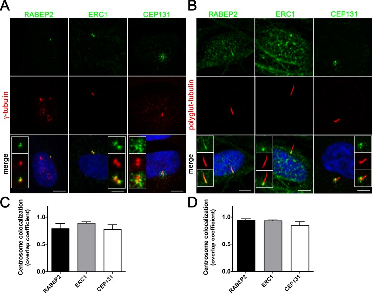 Proteins identified by SILAC assay as SDCCAG8 interactors localize to the basal body or centrosome. ( A ) Co-staining with the centriolar protein γ-tubulin demonstrates centrosomal localization for the identified SDCCAG8 interacting proteins RABEP2, ERC1, and CEP131 in hTERT-RPE1 cells. Note CEP131 localization also at centriolar satellites. Scale bars: 5 μm. ( B ) Co-staining with the ciliary axoneme marker poly-glutamylated tubulin (red) demonstrates ciliary and basal body localization of RABEP2, basal body localization of ERC1 and centriolar satellite localization of CEP131 in hTERT-RPE1 cells. Scale bars: 5 μm. ( C ) Quantification of the co-localization coefficients of RABEP2, ERC1 and CEP131 with γ-tubulin positive centrosomes in cells from ( A ). In each case n > 40 centrosomes; error bars, SEM. ( D ) Quantification of the co-localization coefficients of RABEP2, ERC1 and CEP131 with polyglutamine-tubulin positive centrosomes in cells from ( B ). In each case n > 40 centrosomes; error bars, SEM.