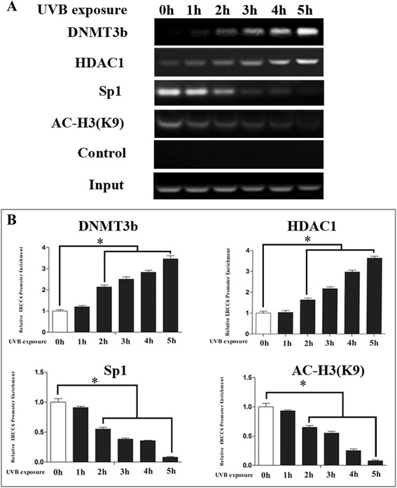 UVB irradiation decreased the occupancy of endogenous Sp1 and H3K9 acetylation on the ERCC6 promoter, but increased occupancy of DNMT3b and HDAC1 on the ERCC6 promoter. a HLE-B3 cells were treated with UVB irradiation. ChIP was performed using anti-Sp1, anti-DNMT3b, anti-HDAC1, and anti-ac-H3 (K9). b Statistically significant differences from control cells were indicated by *( P