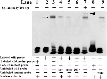 Electrophoretic mobility shift detected the DNA-binding ability of Sp1 on the ERCC6 promoter. The DNA-protein complex ( indicated by black arrow ) can be observed ( lanes 3 , 4 , 5 , 7 , and 9 ). In contrast, no nucleoprotein complex was observed when used the M-probe and labeled mutated type probe ( lanes 1 and 8 ). The competition assay was done by the addition of 50-, 100-, or 200-fold molar excess of unlabeled methylated probes to the incubation mixtures (lanes 4, 5, and 6). The complex formation was fully suppressed by the addition of a 200-fold molar excess of unlabeled wild type probe (lane 6) and not was suppressed by 200-fold molar excess of unlabeled mutated type probe (lane 9). A supershift band (indicated by black arrowhead , lane 7) was detected when anti-Sp1 antibody was incubated