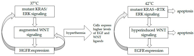 Proposed signaling amplifying mechanism in HCT-116 cells exposed to hyperthermia. At 37 °C, mutant KRAS supports ERK signaling, which in turn augments the already deregulated by a mutation WNT/beta-catenin activity. Signaling through <t>HGFR,</t> a transcriptional target of WNT/beta-catenin activity, feeds back positively the ERK and WNT pathways. At 42 °C, hyperthermia-induced EGF and WNT ligands allow for a switch from HGFR to <t>EGFR</t> signaling, and to increasing in time signaling amplifying mechanism.