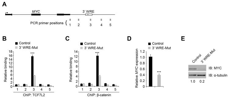 Deleting TBE1 reduces TCF7L2/β-catenin binding to the MYC 3′ WRE and MYC expression. ( A ) Diagram of the MYC genomic locus with the positions of PCR amplicons indicated by grey rectangles and labeled 1-5; ( B ) qPCR analysis of DNA fragments precipitated with anti-TCF7L2 antibodies in ChIP assays conducted in control and 3′ WRE-Mut cells. Shown are signals obtained from PCR amplicons listed on the x-axis. The data is normalized to levels detected with amplicon 1; ( C ) as in ( B ) except anti-β-catenin antibodies were used in the ChIP assays; ( D ) qRT-PCR analysis of MYC transcript levels detected in control and 3′ WRE-Mut cells. The data is normalized to GAPDH levels; ( E ) Western blot analysis of MYC protein levels in control and 3′ WRE-Mut cells. The blots were re-probed with anti-α-tubulin antibodies to control for loading. Shown below are relative levels of MYC, which were quantified using densitometry. Error bars are ±SEM (*** p