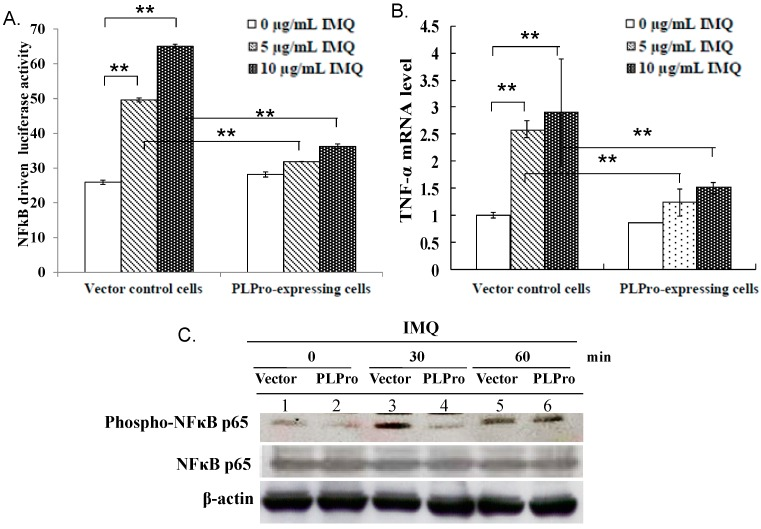 Inhibition of IMQ-induced TNF-α production via NF-κB signaling by SARS-CoV PLPro. Both types of cells were treated with(out) IMQ for 4 h, and then, NF-κB-driven luciferase reporter activity and the TNF-α mRNA level were determined using the dual luciferase reporter assay ( A ) and quantitative PCR ( B ), respectively. For determining NF-κB activation, the lysates were also analyzed using Western blot with anti-phospho-NF-κB p65 antibodies ( C ). ** p -Value