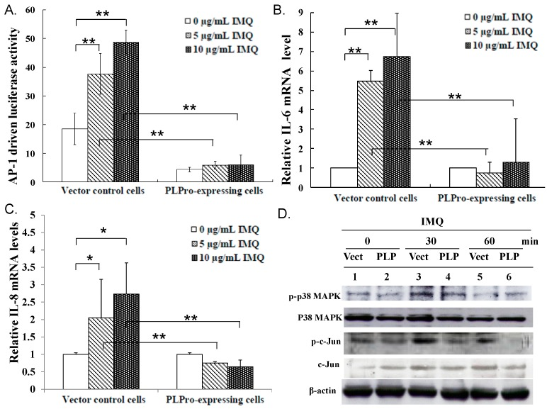 Detection of IMQ-induced AP-1-mediated production of IL-6 and IL-8 in the vector control and PLPro-expressing cells. AP-1-driven firefly luciferase activity was normalized by Renilla luciferase activity ( A ). Relative mRNA levels of IL-6 ( B ) and IL-8 ( C ) were normalized by GAPDH mRNA, presented as a relative ratio. In addition, the activated status of p38 MAPK and AP-1 was examined using Western blot with anti-phospho-p38 MAPK and anti-phospho-c-Jun antibodies ( D ). * p -Value