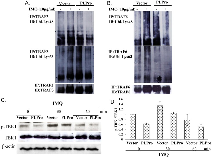 Detecting the Lys48- and Lys63-linked ubiquitination of TRAF3 and TRAF6 measured by the immunoprecipitation assay. Vector control and PLPro-expressing cells were treated with(out) IMQ for 1 day; cell lysates were immunoprecipitated with anti-TRAF3 ( A ) or anti-TRAF6 ( B ) followed by Western blotting probed with either anti-Lys48 ubiquitin or anti-Lys63 ubiquitin antibodies. Phospho-TBK1 levels were detected by Western blot ( C ). The relative band intensity of phospho-TBK1 was normalized by TBK1, compared to the mock vector control cells, and quantified using ImageJ based on triplicate replicates of each experiment ( D ).